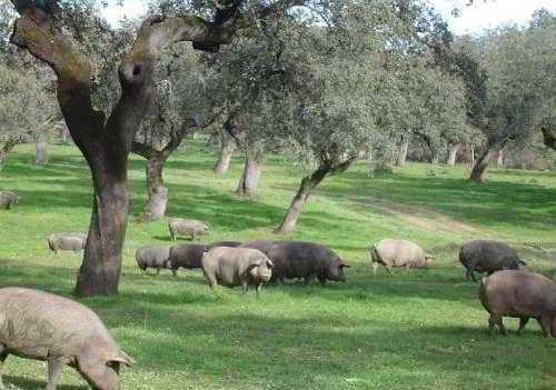Cochons noir iberico